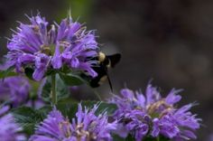 Bee balm. Flower Gardening, The Balm, Bee, Flowers, Plants, Honey Bees, Bees, Plant, Royal Icing Flowers