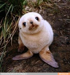 Cute Baby Animals That Will Make You Go 'Aww' Hello - aren't I adorable? Baby Seal you just want to hug him and squeeze him and call him George.Hello - aren't I adorable? Baby Seal you just want to hug him and squeeze him and call him George. Seal Pup, Baby Seal, Seal Seal, Baby Harp Seal, Cute Baby Animals, Animals And Pets, Funny Animals, Newborn Animals, Exotic Animals