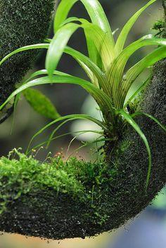 Guzmania monostachia on EpiWeb Nature Plants, Air Plants, Indoor Plants, Frog Terrarium, Terrarium Plants, Planted Aquarium, Moss Plant, Plant Leaves, Tropical Garden
