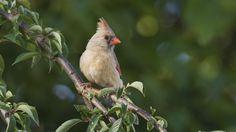 https://flic.kr/p/HGGxAt | On the Lookout_DSC2332 | Female Cardinal on the lookout for a win. Go Cardinals.