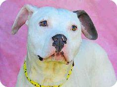 Louisville, KY - Boxer. Meet EDGAR, a dog for adoption. http://www.adoptapet.com/pet/18122552-louisville-kentucky-boxer