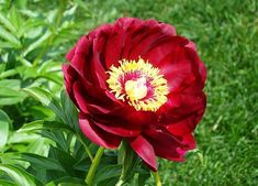 Peonies belong to the genus of plants Paeonia in the Paeoniaceae family of flowering shrubs. There are around 40 species of peonies with around cultivars Beautiful Butterflies, Beautiful Flowers, Organic Gardening, Gardening Tips, Media Sombra, Bloom Where You Are Planted, Red Peonies, Hardy Perennials, Garden Quotes