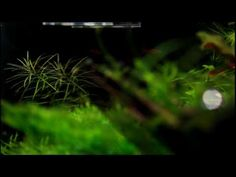 [HD 1080p] Moskitorasbora (Boraras brigittae)