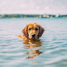 It's impossible to forget a dog that gave you so much to remember | Golden Retriever