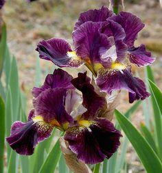 IB Iris germanica 'Oblivion' (Smith, 2002)