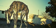 Every year in Spain, thousands of Galgos, Spanish greyhounds, are bred to hunt. But after the hunting season is over, they are then killed in the most brutal ways.