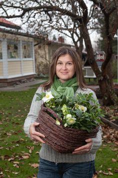 Jouluruusu on paitsi suosittu joulunajan kukka, myös perenna, jonka voi istuttaa keväällä puutarhaan. Juttu joulukukkien hoidosta Kotipuutarhan numerossa 10/2012. Kuva: Teija Tuisku