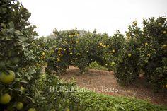 Maduración de las naranjas ecológicas