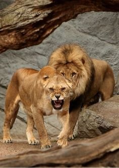 My sweetheart is like a lioness protecting her man. : My sweetheart is like a lioness protecting her man. Beautiful Lion, Animals Beautiful, Beautiful Creatures, Lion Pictures, Animal Pictures, Big Cats, Cool Cats, Lion Couple, Animals And Pets