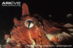 (Go to link for more exemplary reference photos of Enteroctopus Doflenini) Close up of North Pacific giant octopus eye