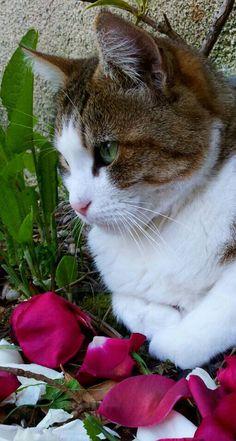 Cat - European - Praline on www.yummypets.com