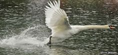 A man has drowned after being attacked by a swan, which knocked him out of his kayak and stopped him swimming to shore. So how dangerous are these graceful white birds?