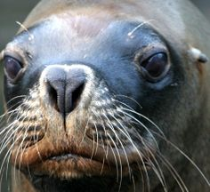 female Stellar sea lion in extreme close-up with very soulful eyes Lion Facts, Lion Eyes, Extreme Close Up, Animal Facts, Seals, Lions, Creatures, Animals, Lion