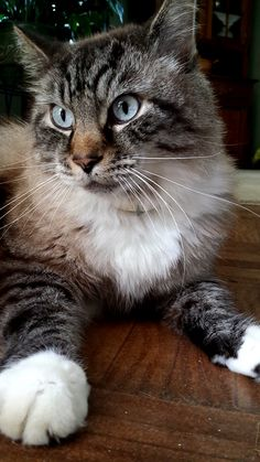 Previous pinner said: Dear Coconut passed a few years back but he still the prettiest kitty I ever knew Pretty Cats, Beautiful Cats, Cute Cats, Funny Cats, Animals And Pets, Cute Animals, Cute Cat Breeds, Lovely Creatures, Maine Coon