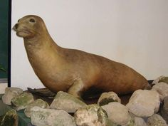 Japanese Sea Lion: extinct due to hunting.