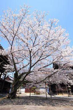 Honpo-ji cherry blossoms-a glorious hidden spring spot that colors the cathedral - Modern Night Lamps, Home And Garden, Garden Homes, Other Rooms, Cathedral, Tourism, Scenery, Spring Japan, Explore