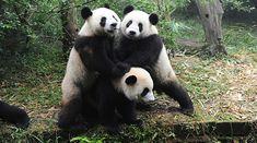 Oso panda: menos de 2.500 ejemplares en hábitat natural. Esta es la cifra que resume el presente y el futuro del oso panda. Esta especie, originaria del suroeste de China, es un símbolo de la lucha contra la deforestación y la caza ilegal.