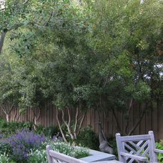 Wax myrtle, Southern bayberry:  grow these by the patio/pool to repel fleas and mosquitoes.