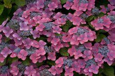Фото Гортензия Kardinal 2л, латинское название - Hydrangea macrophylla Kardinal