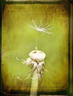 dandelion version of the Last Leaf Dandelion Clock, Dandelion Wish, The Last Leaf, Scenery Photography, Mellow Yellow, Make A Wish, Daffodils, Yellow Flowers, Watercolor Paintings