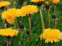 weeds lawn control problems cures crabgrass dandelions insects beetles | The Old Farmer's Almanac
