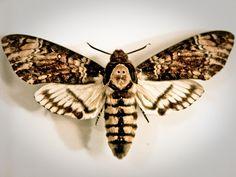 Death's Head Hawk Moth by Alёna, via Flickr