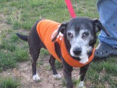 Princess is an adoptable Terrier Dog in Frankfort, KY. Princess is 14 years old and is still in good shape, she does good with all other dogs and cats. She has never been around kids so she would do b...