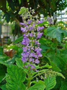 Molice (rostlina) – Wikipedie