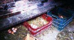 Aqui ponen las gallinas en Limanes. Antiguamente esta casita era para ahumar los chorizos y morcillas que hacia mi abuela. Hoy es el sitio mas tranquilo y en oscuridad para que tranquilamente pongan unos huevos deliciosos.