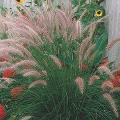 Fountain Grass, awesome plant