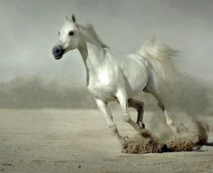White Stallion Horses | White Horse Running