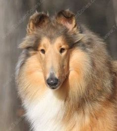 Our Collies @ Taliesen >> We are a Rough Collie Breeder of Quality ...