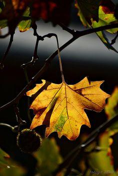 Autumn Leaf   Nagy István   Flickr