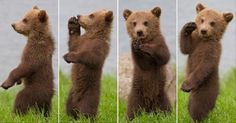 baby bear - Google Search Baby Animals, Cute Animals, Animal Babies, Dancing Baby, Dance Like No One Is Watching, Dance Routines, White Wolf, Cute Animal Drawings, Bear Cubs