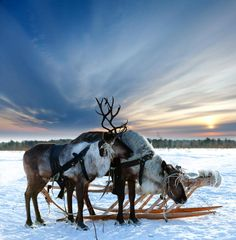 Lapland holidays: what to see and do - Telegraph. A reindeer sleigh ride is the most magical way to experience the snowy forests (Photo: Fotolia) Helsinki, Lapland Holidays, Christmas Destinations, Reindeer And Sleigh, Finland Travel, Lapland Finland, Nordic Christmas, Christmas Travel, Vintage Christmas