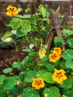 Nasturtium (Tropaeolum majus) is a annual vine.  Nasturtium offers colorful flowers in jewel-tone shades of red, orange, yellow, apricot, and cream. The blooms are also edible, making a great addition to salads or being used as a garnish. The plant can climb 6 feet or more and grows best in full sun.  Note: In rich soil, nasturtium may put on all leafy growth at the expense of blooms