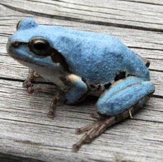 <青いカエル>突然変異? 8月以降、埼玉県内で発見相次ぐ