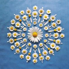 Find images and videos about daisy on We Heart It - the app to get lost in what you love. Deco Floral, Arte Floral, Ephemeral Art, Flower Rangoli, Floating Flowers, Pressed Flower Art, Flower Petals, Mandala Art, Flower Crafts