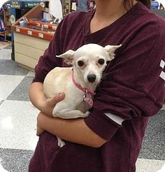 Dallas, TX - Chihuahua Mix. Meet Katara a Dog for Adoption.Katara was found running lost in a field along side of MoMo (who we believe may be her son)is approximately 3 years old. She is a little shy when she first meets you.