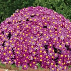 Lavender Daisy Hardy Mammoth Mums - Plant in Spring.