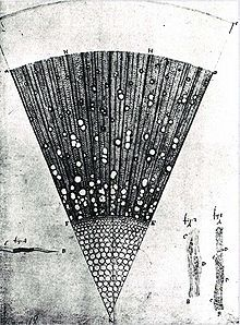 A microscopic section of a one-year-old ash tree (Fraxinus) wood, drawing made by Van Leeuwenhoek.
