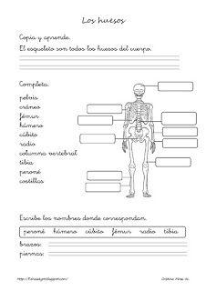 Cositas de AL y PT: Los huesos y las articulaciones Free Education, Anatomy And Physiology, Learning Spanish, Classroom Activities, Science And Nature, Third Grade, Social Studies, Human Body, Biology