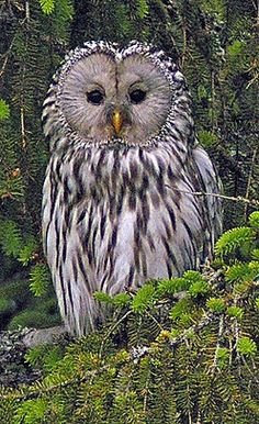Ural Owl, medium-large nocturnal owl with a four-foot wingspan & punch with their talons. Found in Euope & northern Asia. (Hannu Jännes)
