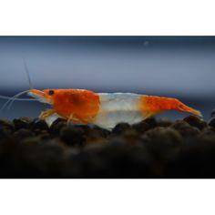 Orange Rili Shrimp