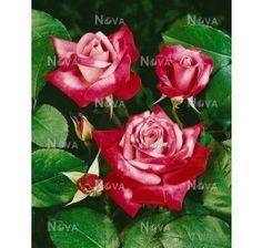 Rosa ´Passion´ / Ruža čajohybrid, krík, BK