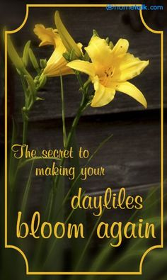 Tip for making your daylilies bloom again!