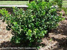 Burfordii Holly  (Dwarf Burford Holly) Ilex cornuta Burfordii Compacta or Nana Classy dwarf burfordii holly is an elegant and formal South Florida shrub that also blends in with more casual landscapes of flowering or tropical plants and ornamental grasses.