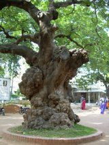 An old tree which welcomes you @ Ramanashram in Thiruvannamalai, Tamizh Nadu, India