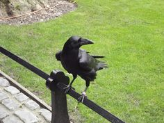 The Tower Raven Merlina