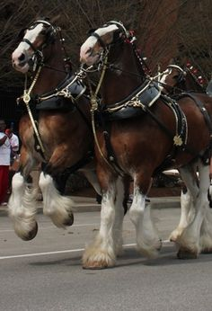 Budweiser Clydesdales at St. Louis opener by Subjects Chosen at Random Budweiser Clydesdales at St. Louis opener by Subjects Chosen at Random Big Horses, Work Horses, Horse Love, Black Horses, All The Pretty Horses, Beautiful Horses, Animals Beautiful, Zebras, Farm Animals